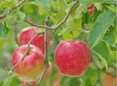 img_orchard_002